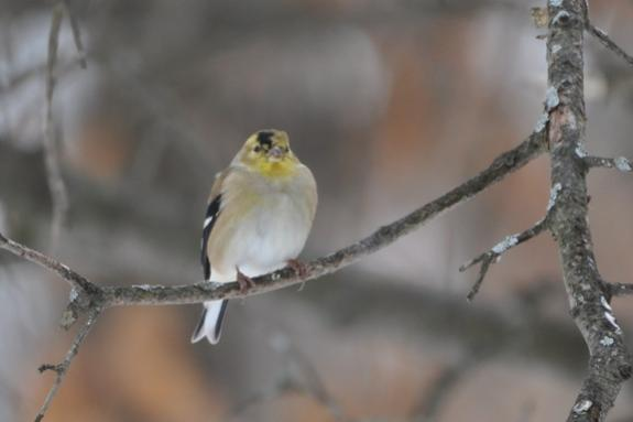 Name:  Molting goldfinch 2-7-10 B.jpg