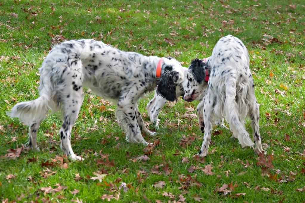 Name:  Lili and Colbi coming to terms over Loon 10-23-19.jpg