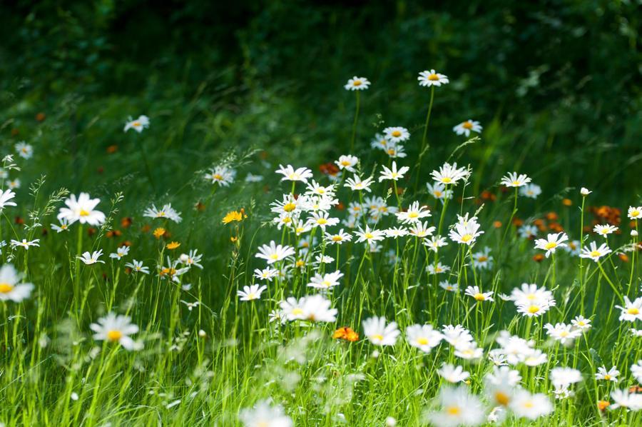 Name:  Front lawn 6-17-11 C.jpg Views: 356 Size:  109.9 KB