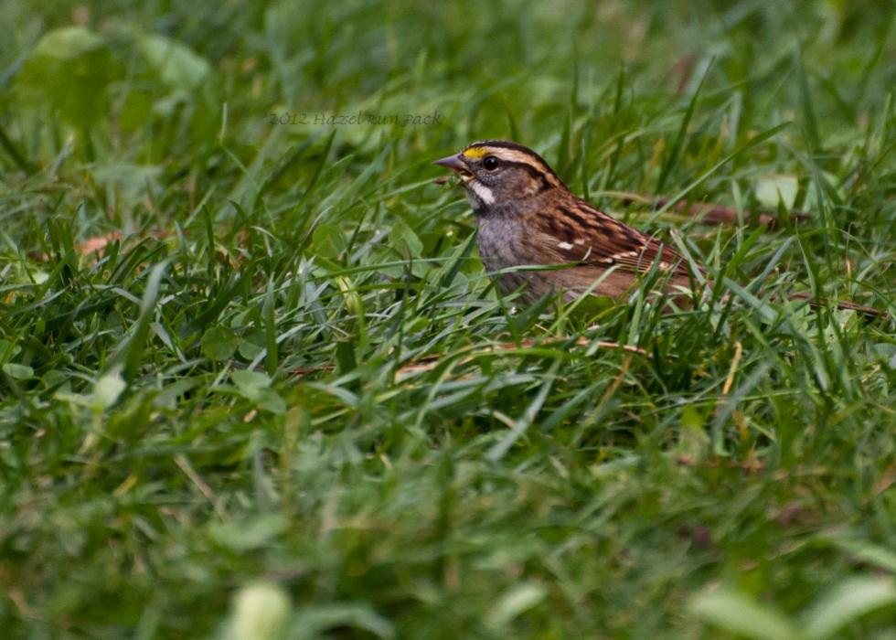 Name:  White-throated sparrow 9-16-12 A.jpg Views: 88 Size:  95.5 KB