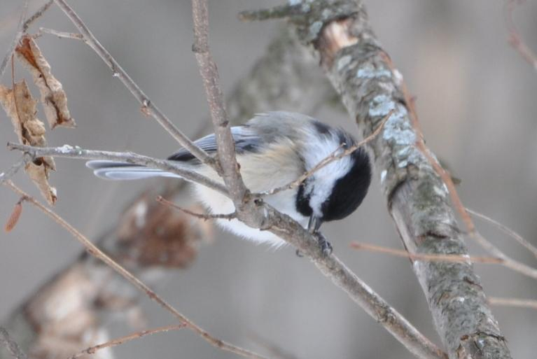 Name:  chickadee with seed 2-7-10.jpg