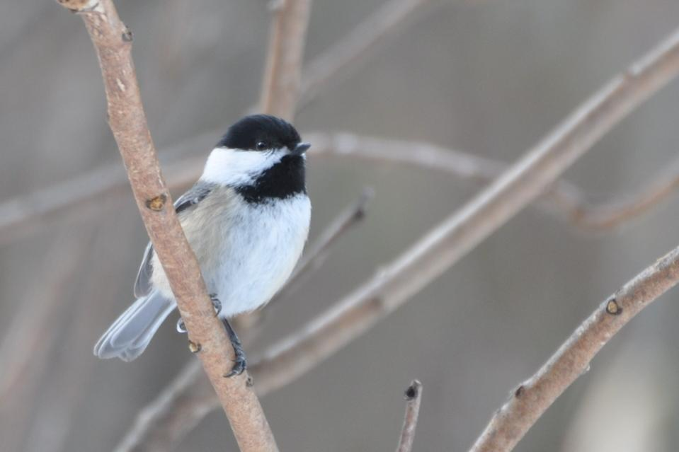 Name:  Chickadee 2-7-10.jpg