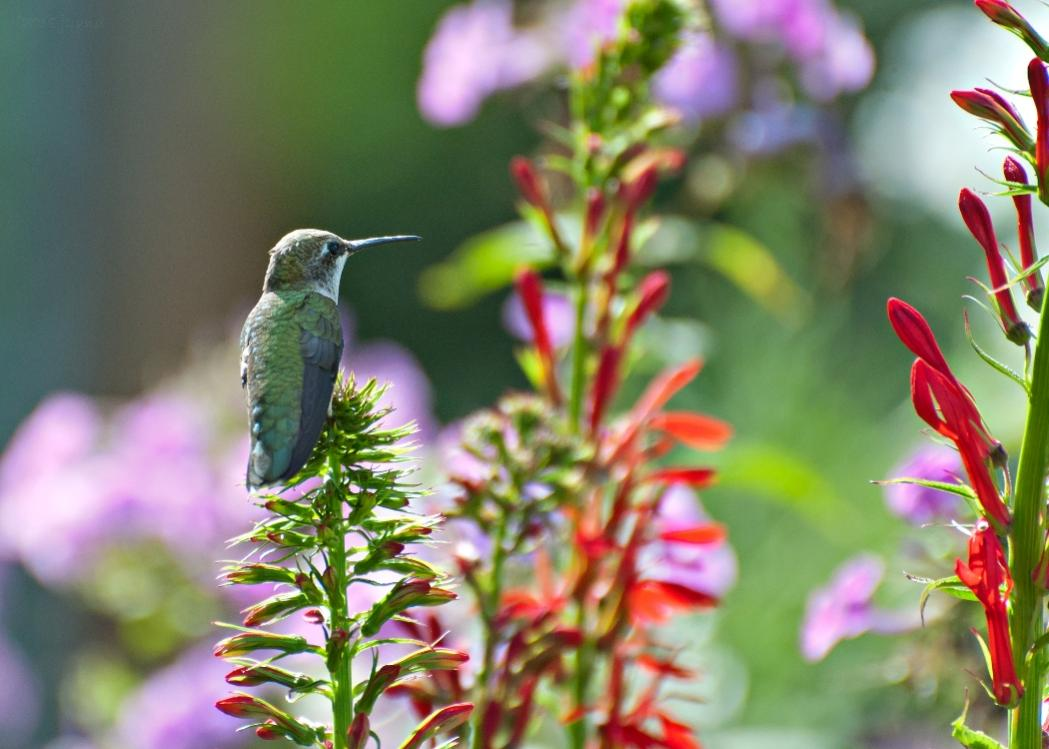 Name:  Ruby-throated hummingbird resting on Cardinal-flower 8-5-18.jpg