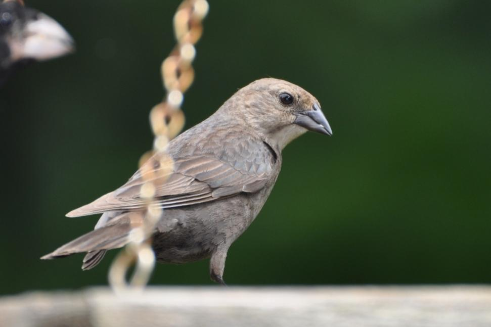 Name:  Brown-headed cowbird 6-18-10.jpg