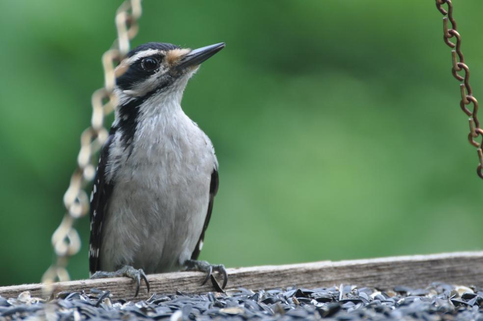 Name:  Hairy woodpecker 6-19-10.jpg