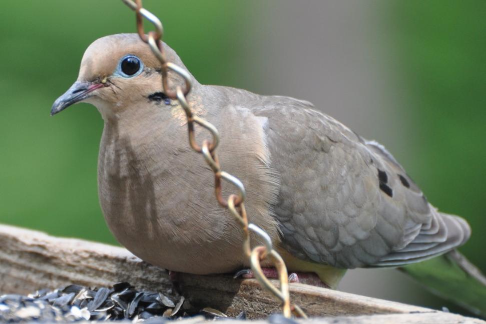 Name:  Mourning dove 6-20-10 B1.jpg
