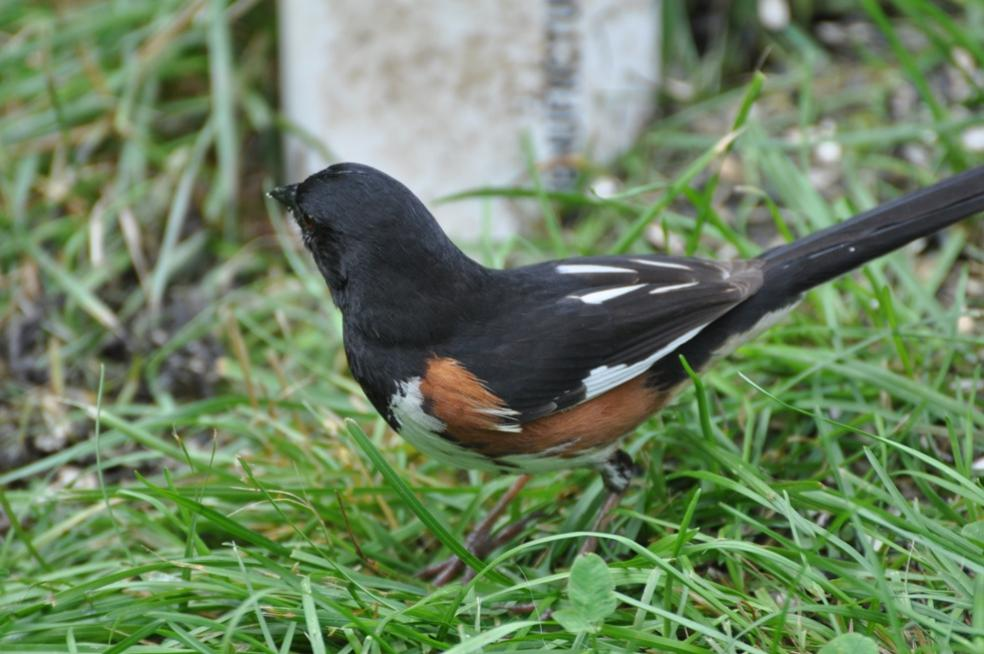 Name:  Eastern towhee under the feeder 6-20-10.jpg