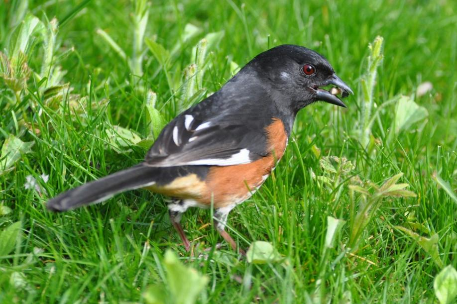 Name:  Rufous-sided towhee 5-16-10 A.jpg