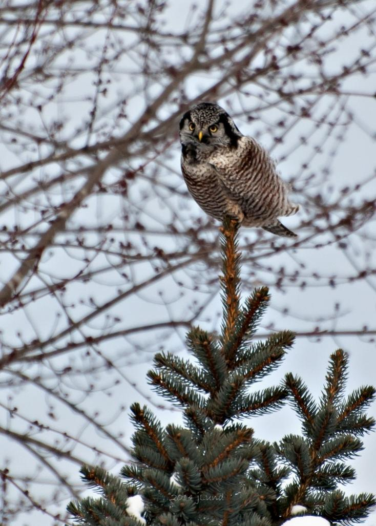 Name:  Northern hawk-owl, Lars road EC closer 12-31-14 D.jpg Views: 38 Size:  120.5 KB
