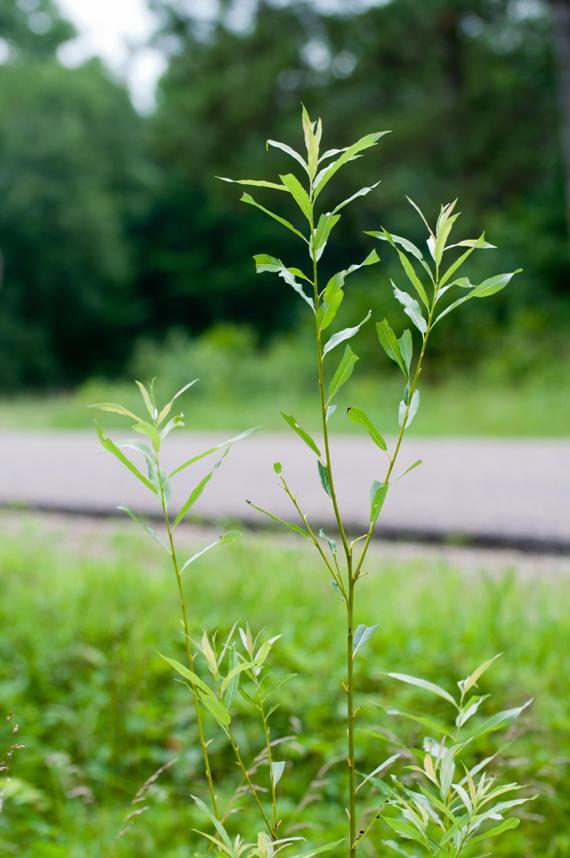 Name:  Sawfly plant.jpg Views: 780 Size:  57.0 KB