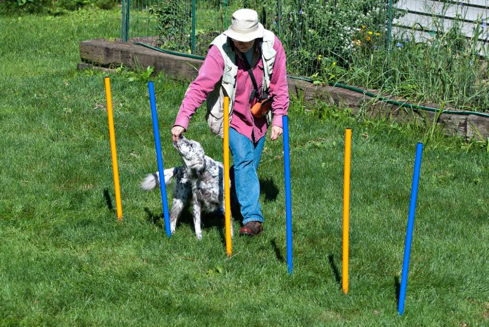 Name:  Grace tackling the second set of weave poles 8-19-19 A.jpg Views: 25 Size:  199.2 KB