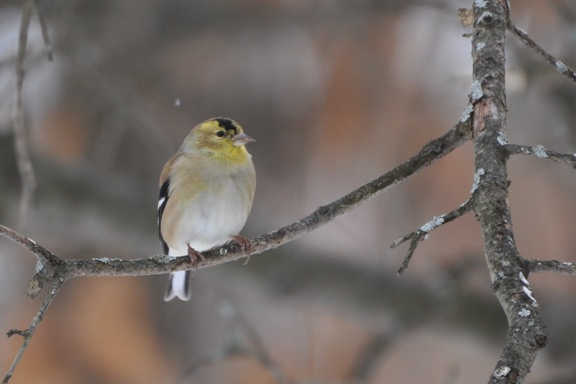 Name:  Molting goldfinch 2-7-10 A.JPG Views: 95 Size:  84.3 KB