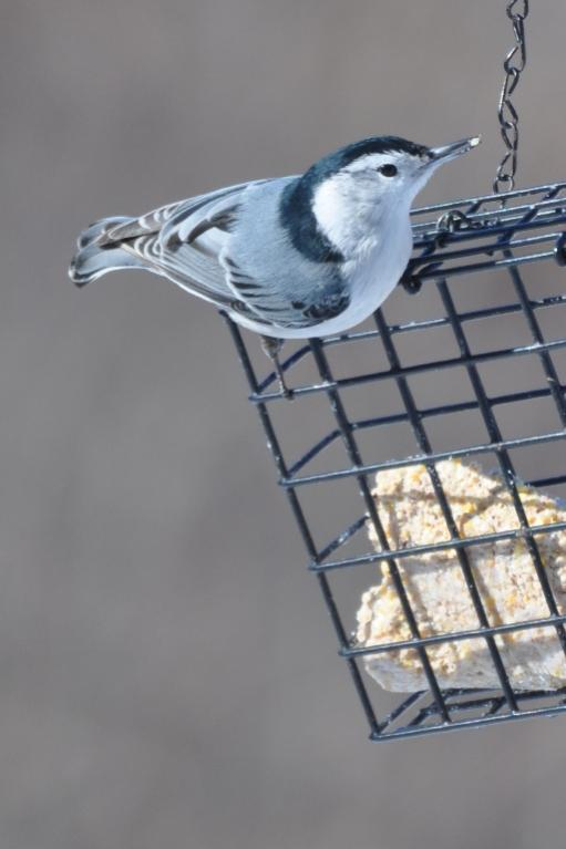 Name:  nuthatch on suet 2-13-10.jpg Views: 58 Size:  34.1 KB
