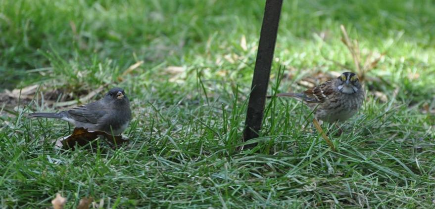 Name:  Junco and white-throated sparrow 10-18-09 A.jpg