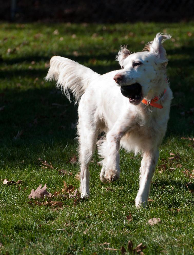 Name:  Ember with the ball 11-16-11 B.jpg