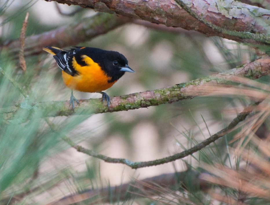 Name:  Baltimore oriole 5-9-11 C.jpg