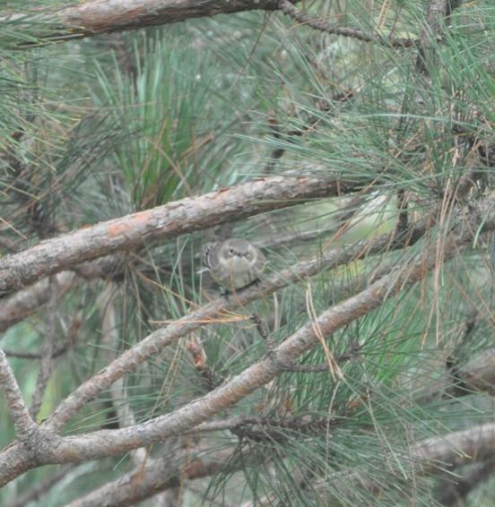 Name:  Yellow-rumped warbler 10-3-09.jpg Views: 94 Size:  58.8 KB