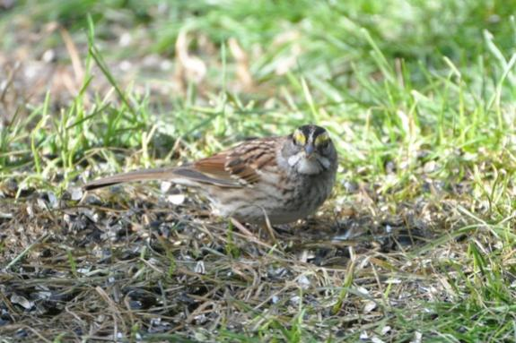 Name:  White-throated sparrow crop 10-18-09 C.jpg Views: 97 Size:  49.5 KB