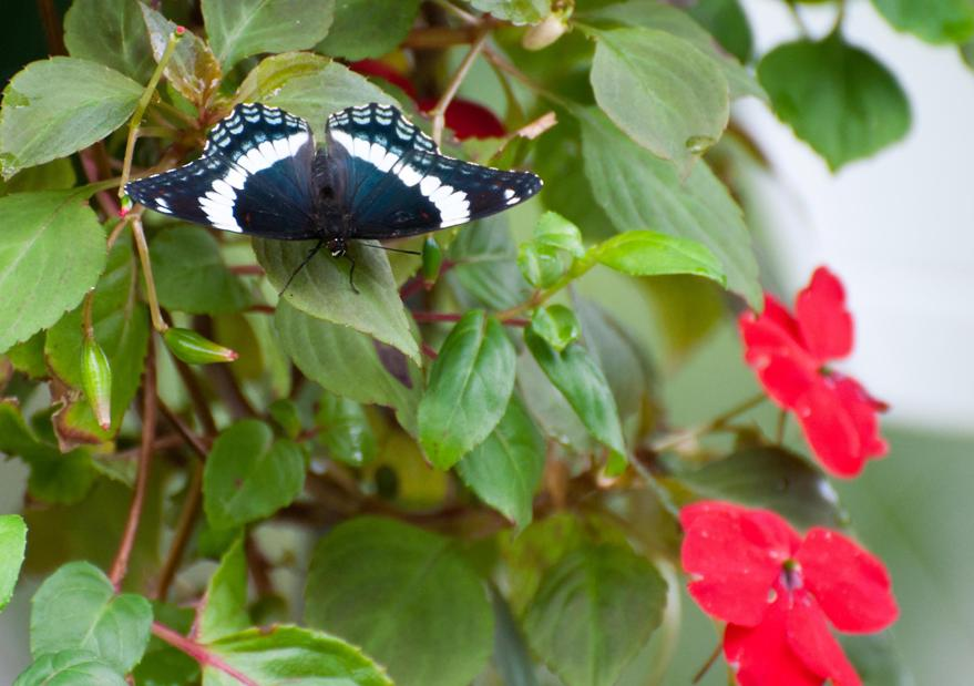 Name:  White admiral butterfly 8-1-11.jpg