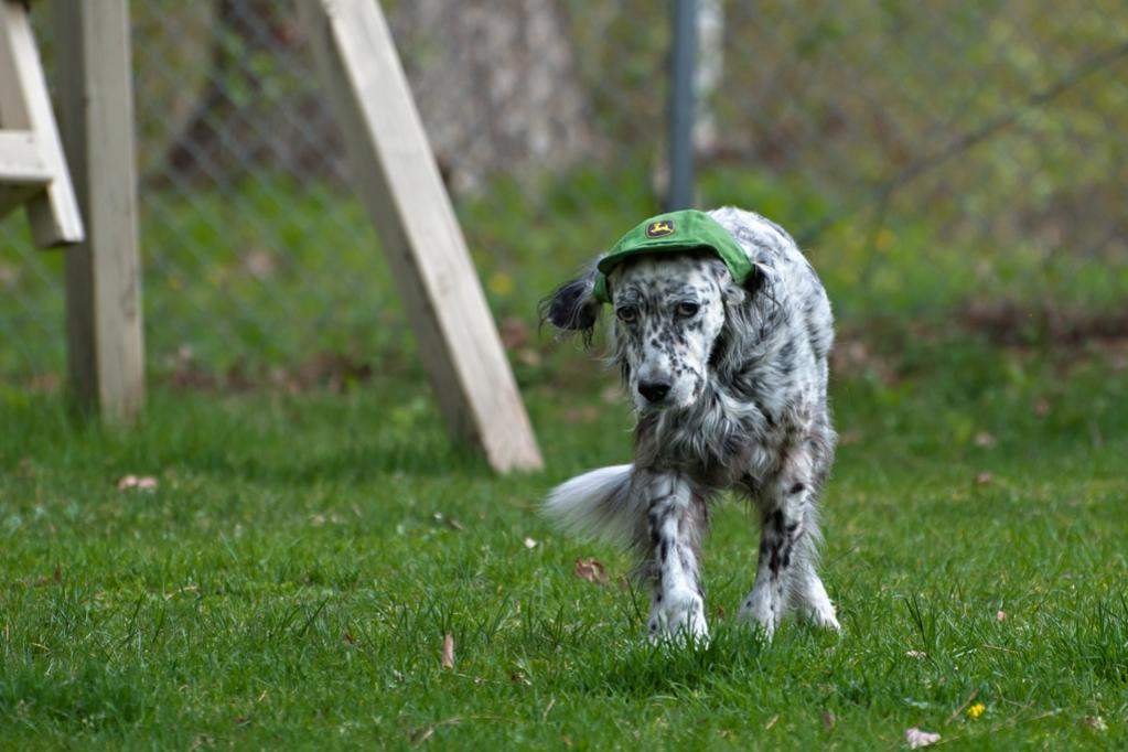 Name:  Grace looking spiffy in her new hat 5-16-20.jpg Views: 43 Size:  84.6 KB