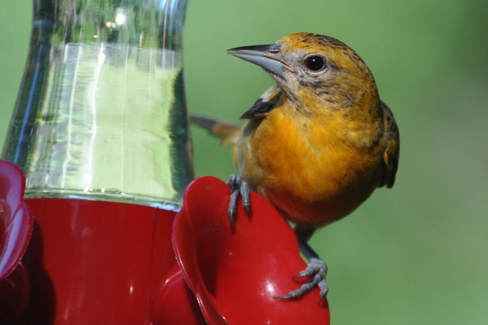 Name:  Baltimore oriole female at the nectar 6-29-10 D1.jpg