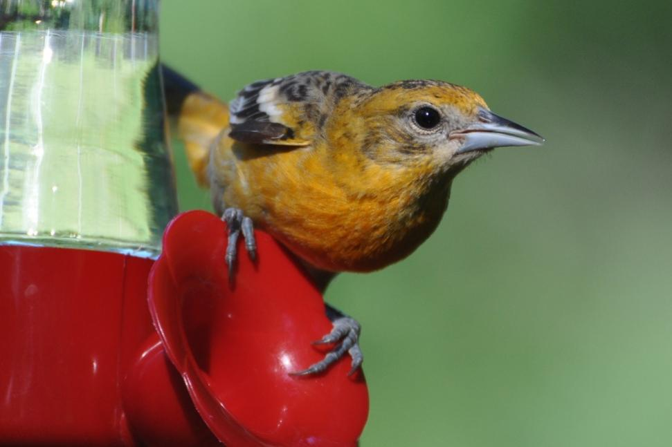 Name:  Baltimore oriole female at the nectar 6-29-10 E1.jpg