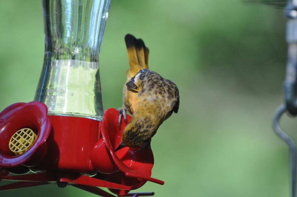 Name:  Baltimore oriole female at the nectar 6-29-10 F.jpg