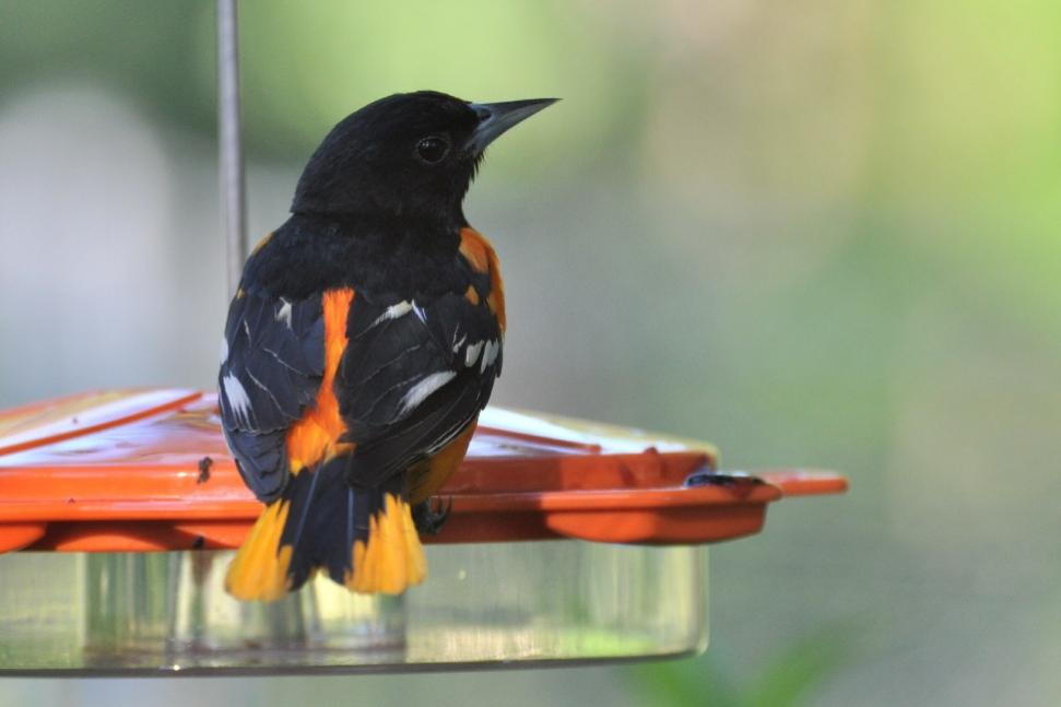 Name:  Baltimore oriole at the jelly 6-29-10 B.jpg