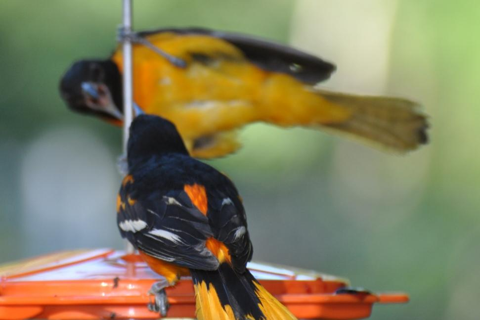 Name:  Baltimore orioles at the grape jelly 6-29-10 F2.jpg