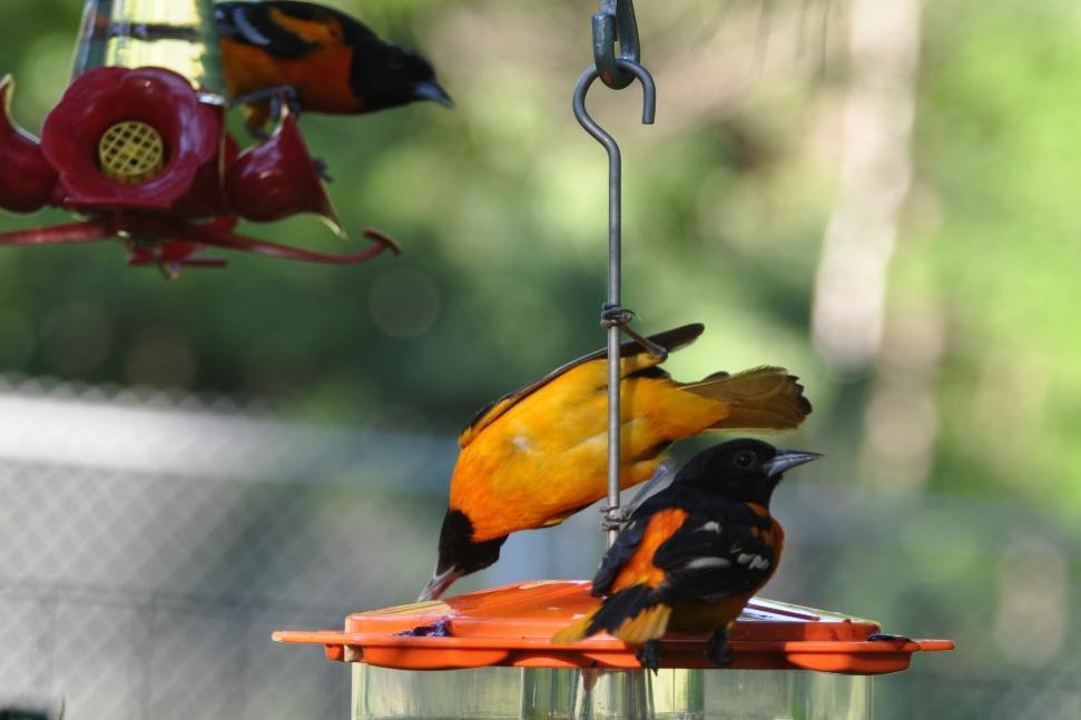Name:  Baltimore orioles at the grape jelly 6-29-10 C.jpg