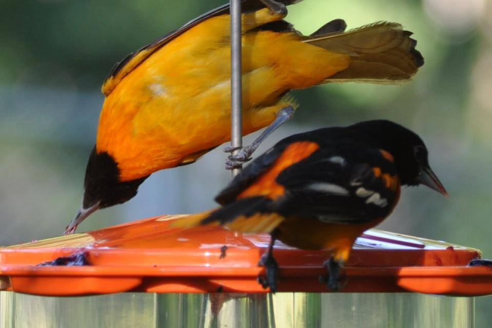 Name:  Baltimore orioles at the grape jelly 6-29-10 E2.jpg