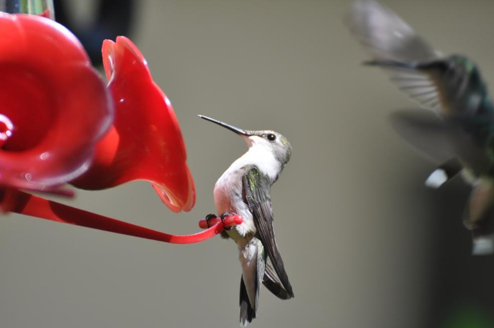 Name:  Hummingbirds at the nectar feeders 6-29-10 D.jpg