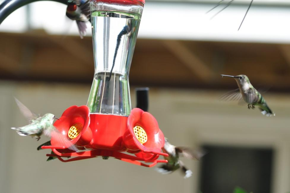 Name:  Hummingbirds at the nectar feeders 6-29-10 B.jpg