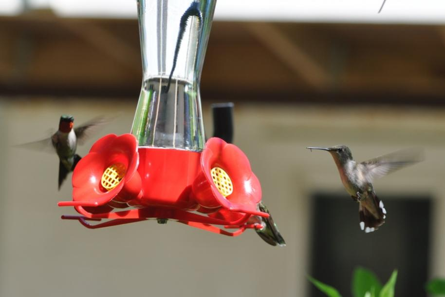 Name:  Hummingbirds at the nectar feeders 6-29-10 C.jpg