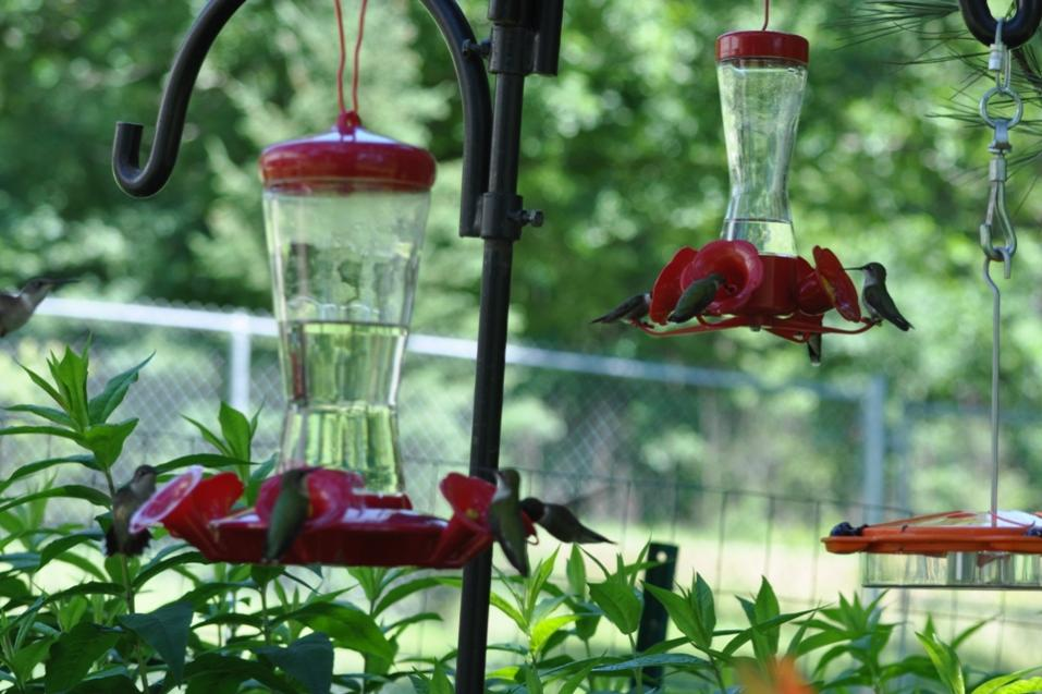 Name:  Hummingbirds at the nectar feeders 6-29-10 A.jpg