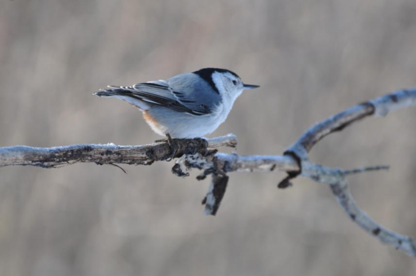 Name:  wh-br nuthatch 2-3-10.jpg Views: 97 Size:  27.6 KB