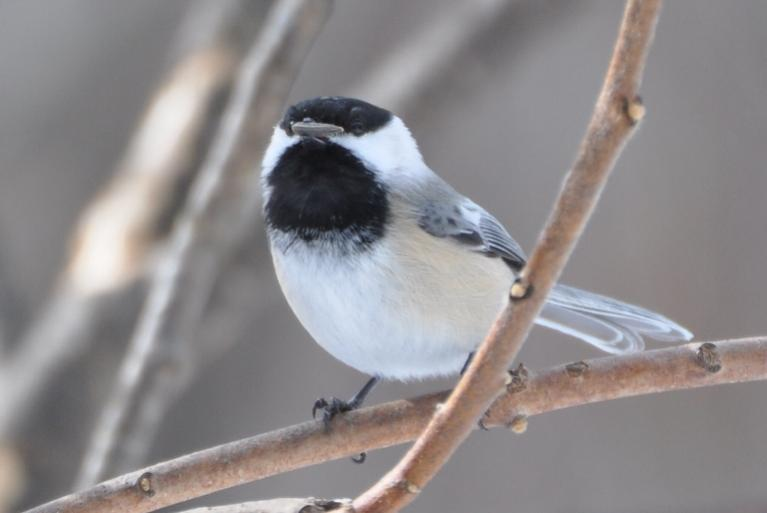 Name:  Black-capped chickadee with seed 2-7-10.jpg Views: 98 Size:  29.3 KB
