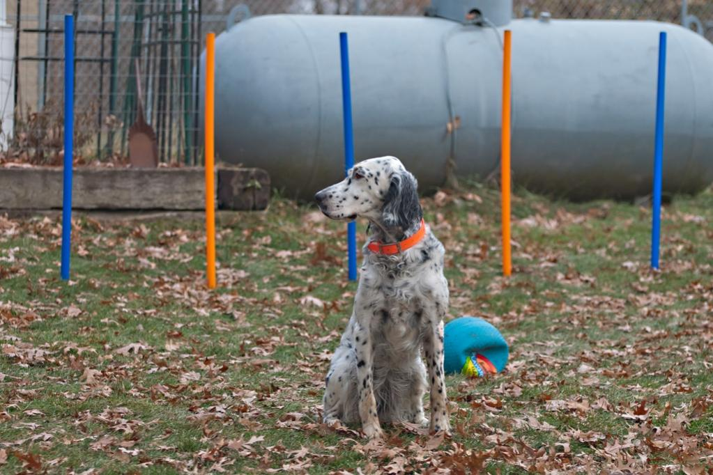 Name:  Lili looking very grown up on her agility course 11-16-19.jpg Views: 101 Size:  116.9 KB