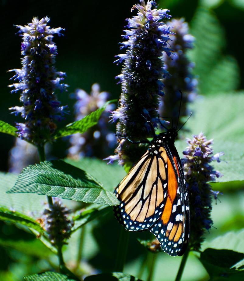 Name:  Monarch on anise hyssop 7-6-11 A.jpg Views: 557 Size:  115.0 KB
