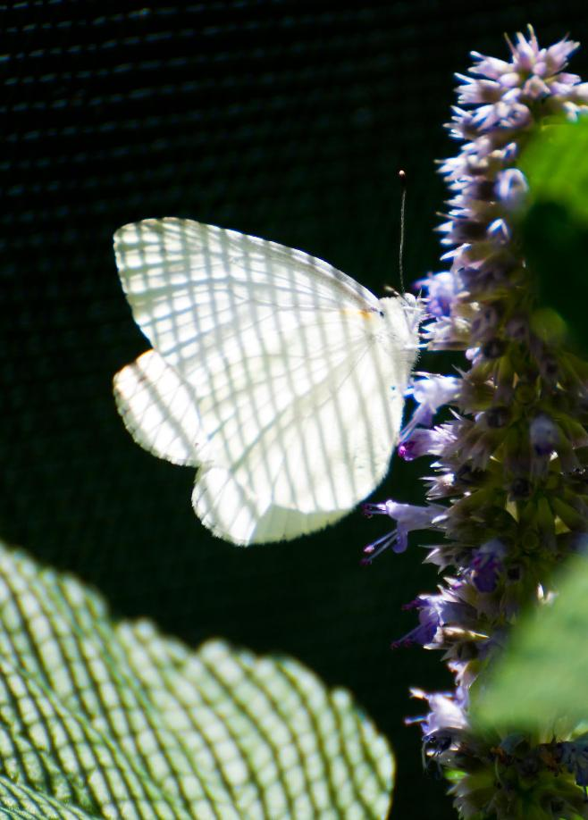 Name:  Mustard white on anise hyssop 7-6-11 A.jpg Views: 491 Size:  75.3 KB