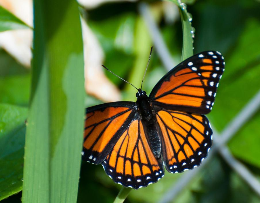 Name:  Viceroy butterfly 6-19-11 C.jpg Views: 459 Size:  74.5 KB