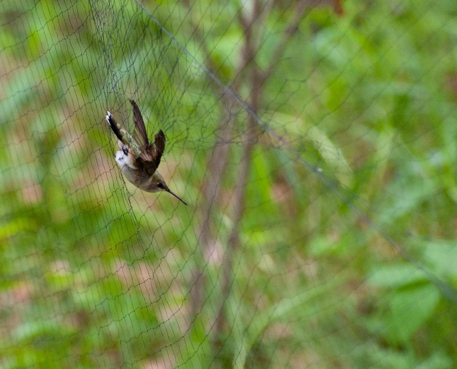 Name:  Ruby-throated hummingbird 5-24-11.jpg