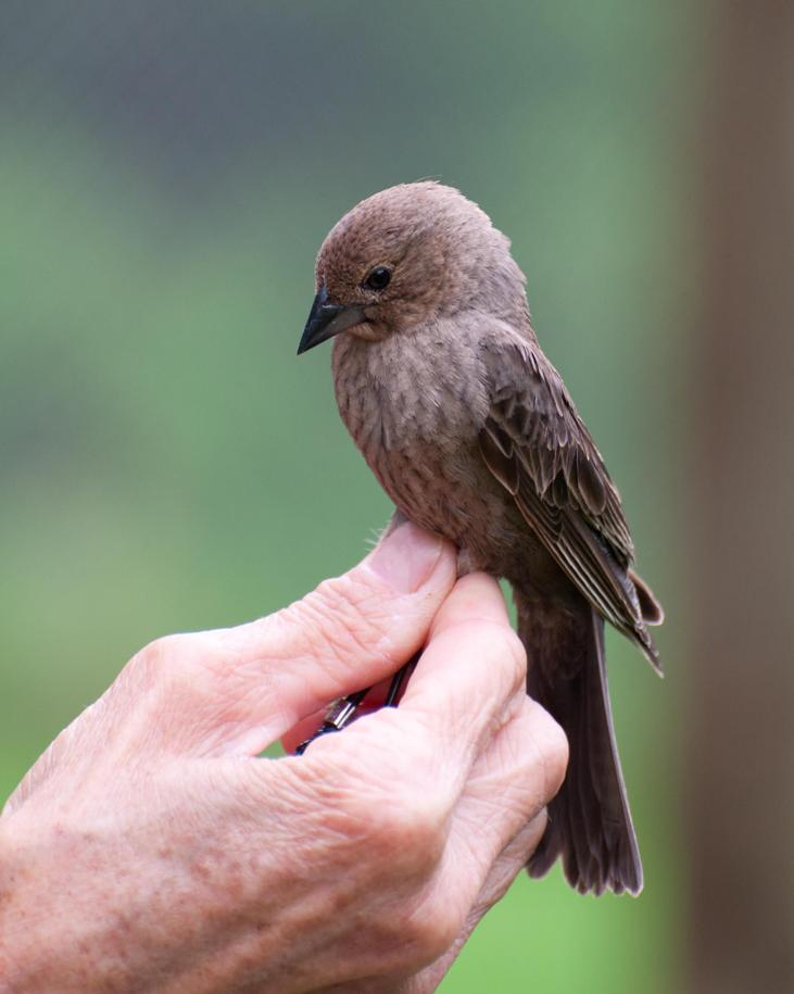 Name:  A very lucky cowbird 5-24-11.jpg