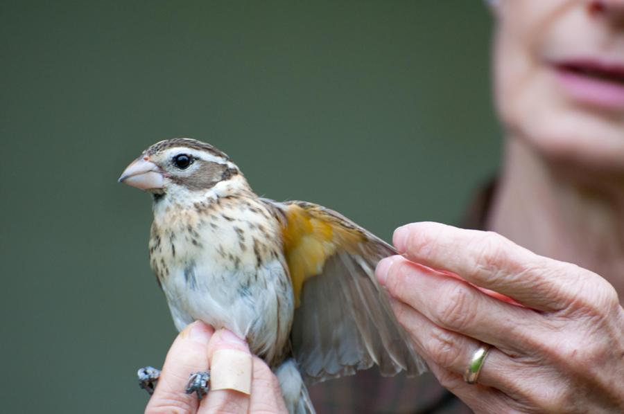 Name:  A beautiful female grosbeak 5-24-11.jpg