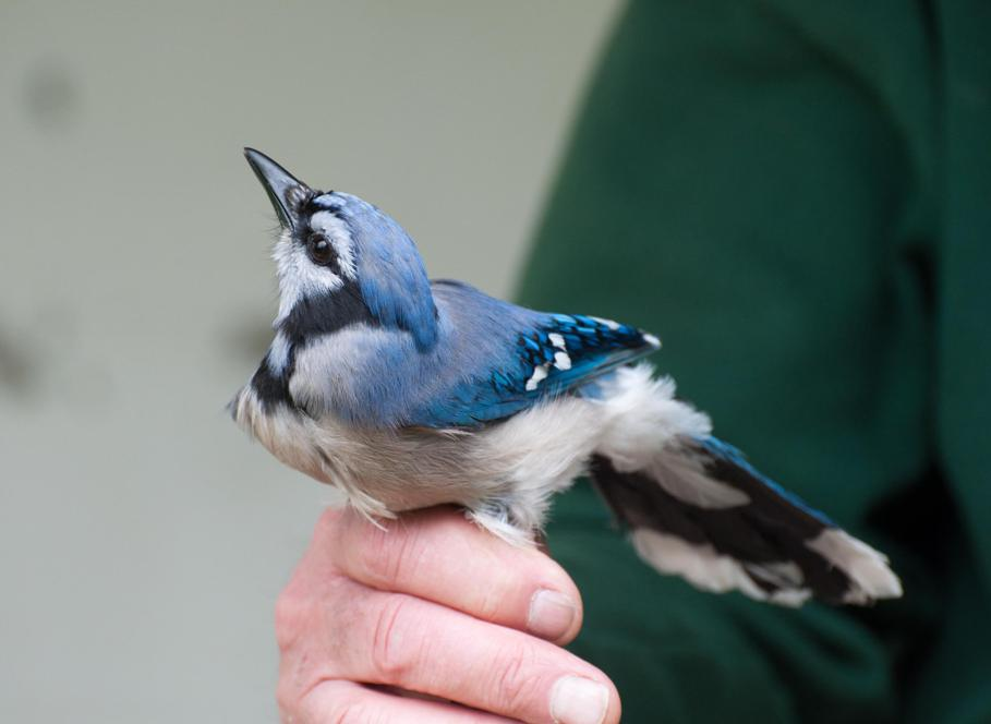 Name:  Blue jay 5-24-11.jpg