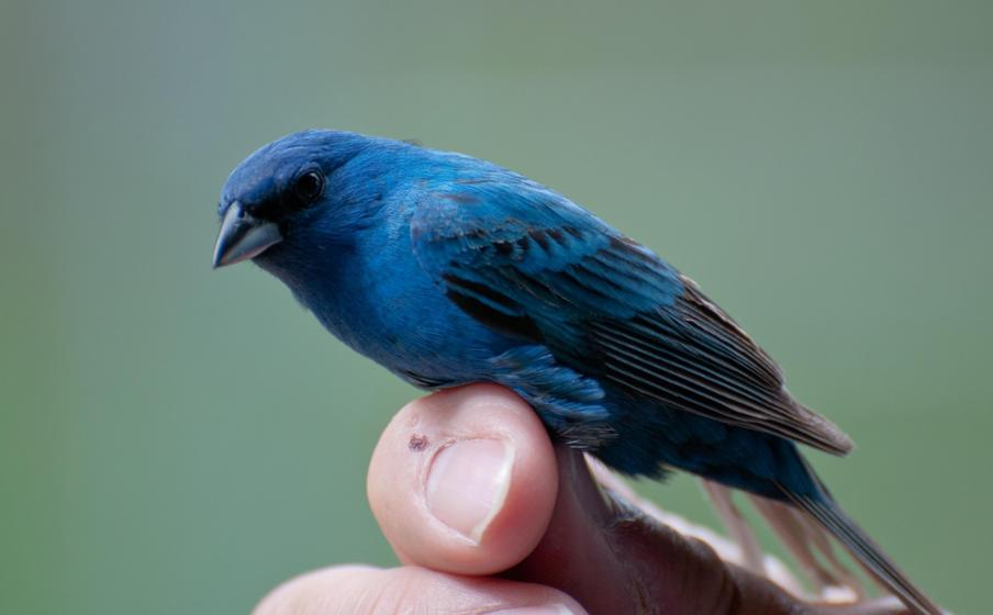Name:  Indigo bunting, newly banded and ready to be released 5-24-11.jpg