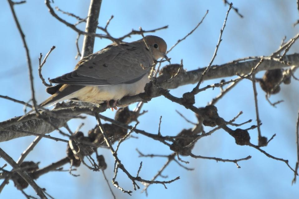 Name:  mourning dove 2-13-10.jpg