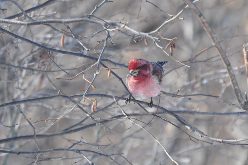 Name:  purple finch on 2-13-10.jpg