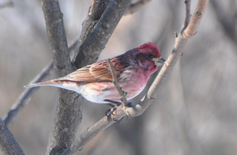 Name:  purple finch 2-13-10.jpg
