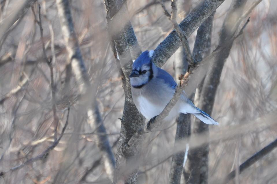 Name:  Bluejay 2-3-10.jpg